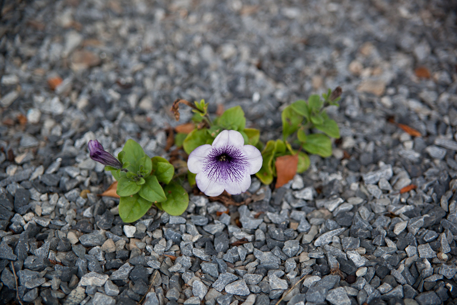 blomsten_vokser_opp_av_grusen