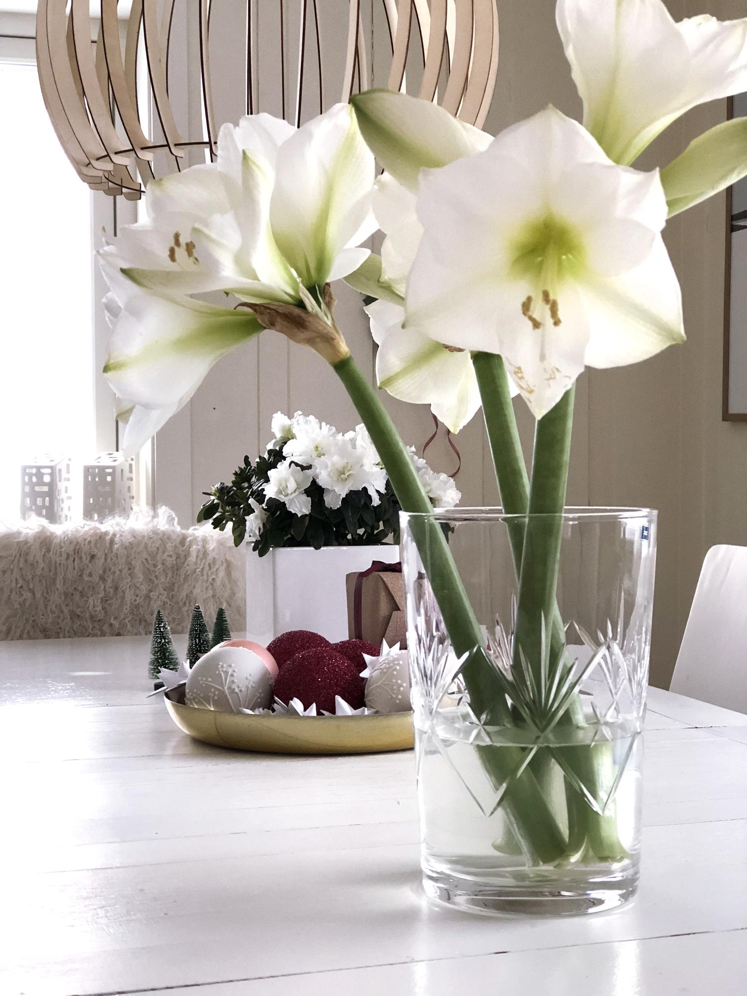 amaryllis i vase