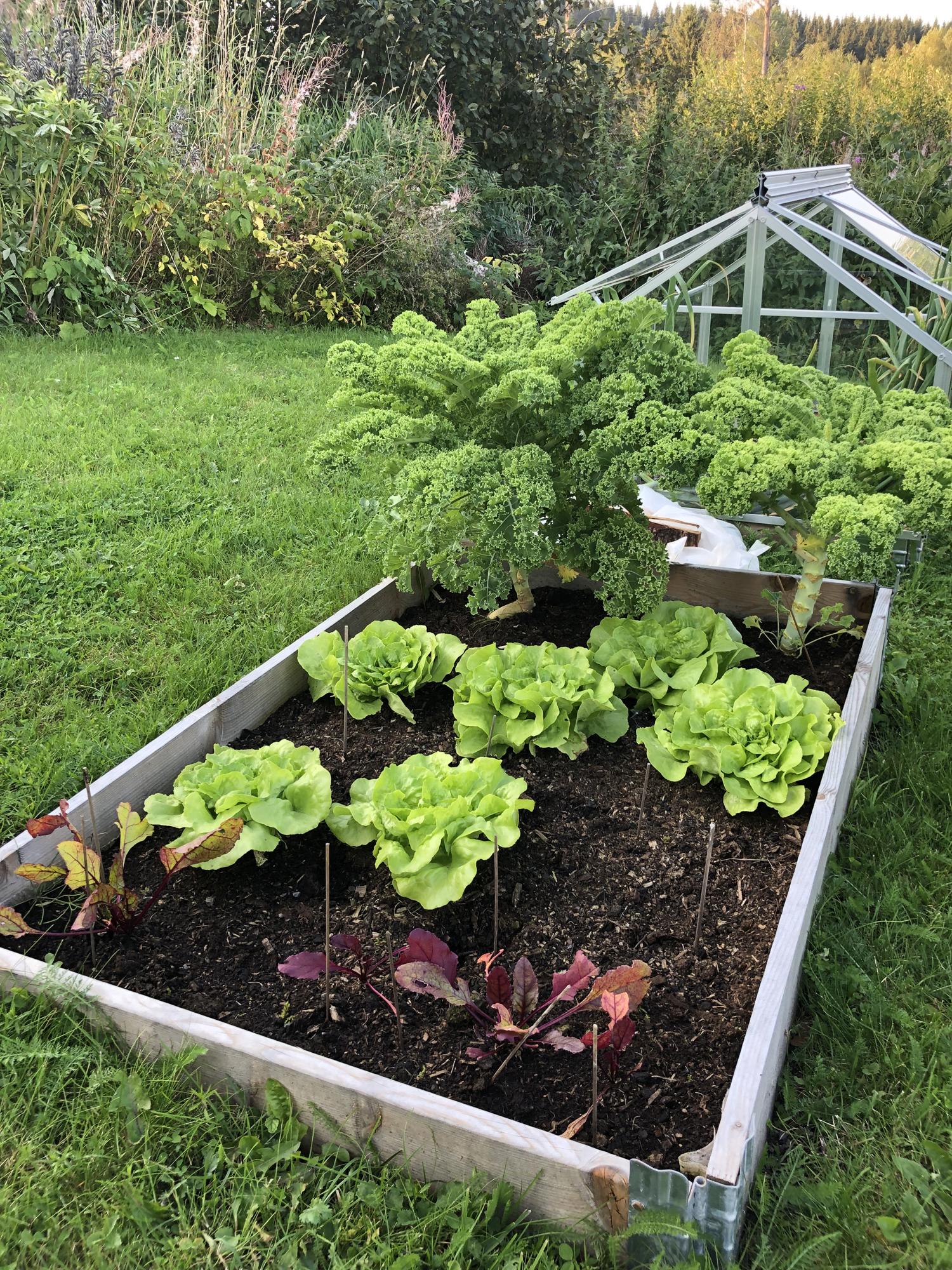 rødbeter, salat og grønnkål i pallekarm