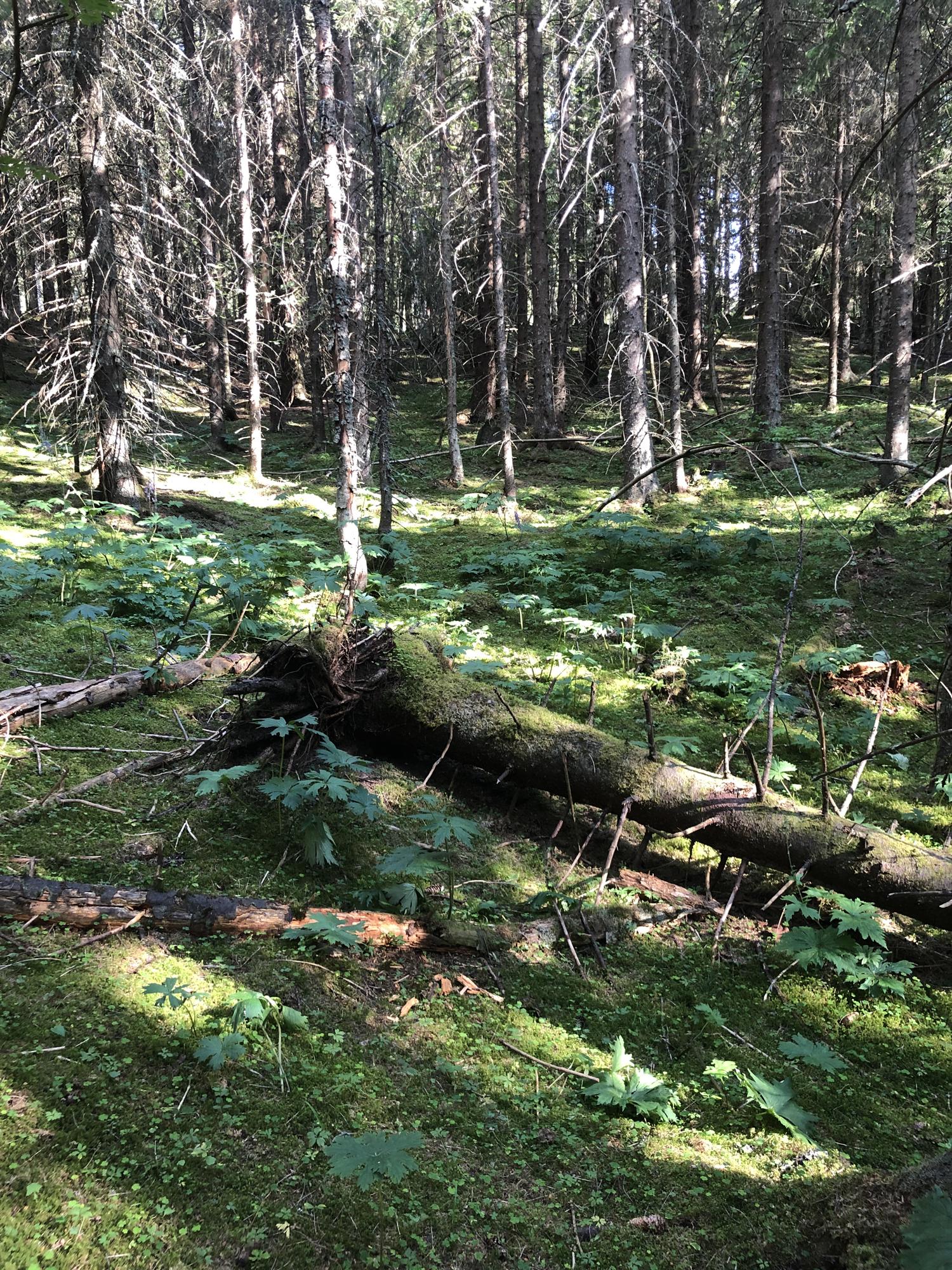 skogsbunn