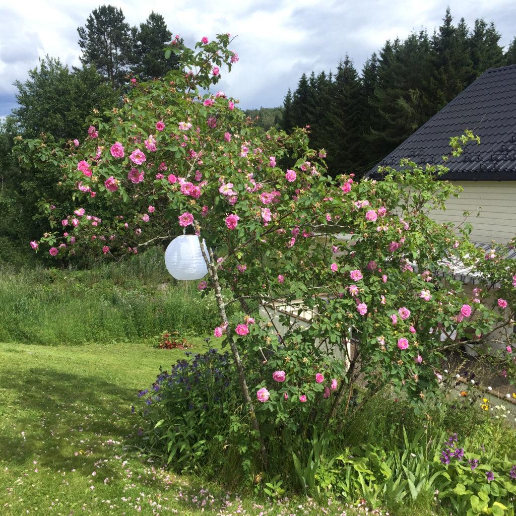 hurdalsrose i hagen